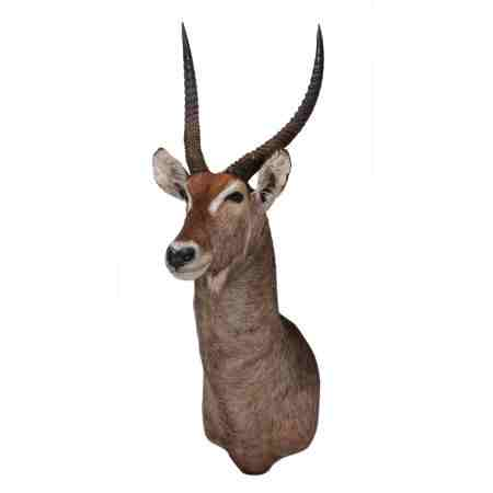 Taxidermy Waterbuck Shoulder Mount
