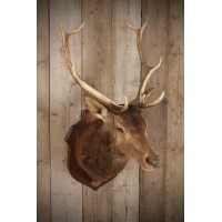 Taxidermy Eight Pointer Red Stag